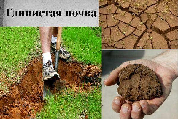 Как сделать плодородную почву из глинистой 152